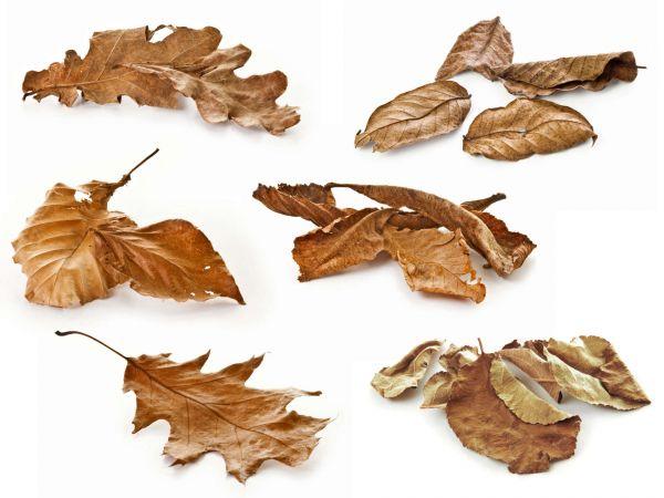 Herbstlaub-Set, braune Blätter - Laub im Aquarium für Garnelen, Krebse, Schnecken
