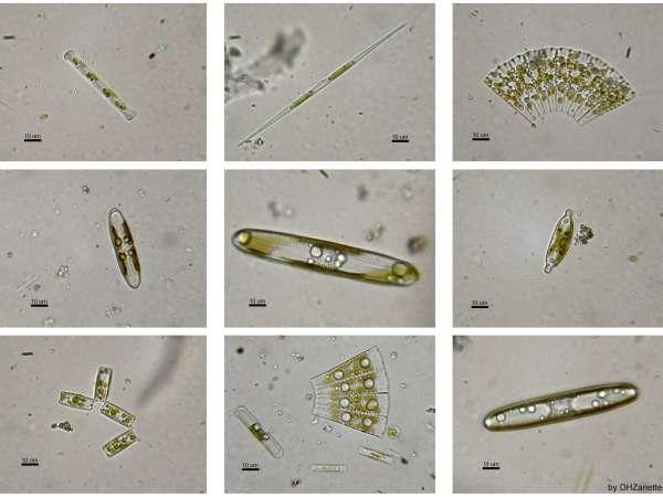 Kieselalgen - Bacillariophyta
