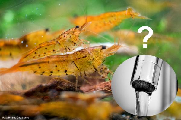 Garnelen in Leitungswasser halten?