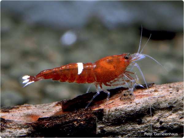 Rote Taiwaner / Red Shadow Bees - Caridina sp.