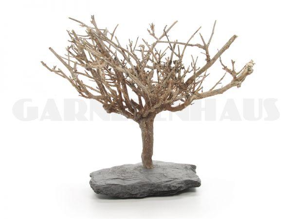 Nano-Baum Bonsai L, Moosbaum