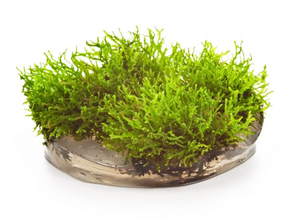 Dennerle Korallenmoos - Riccardia chamedryfolia, inVitro