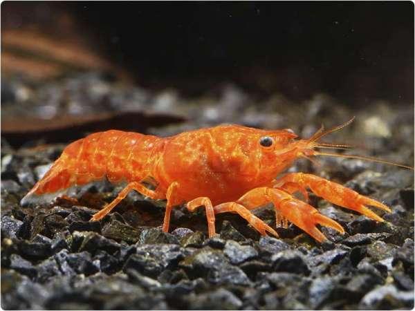 """Cambarellus patzcuarensis """"orange"""" - CPO - Cambarellus patzcuarensis"""