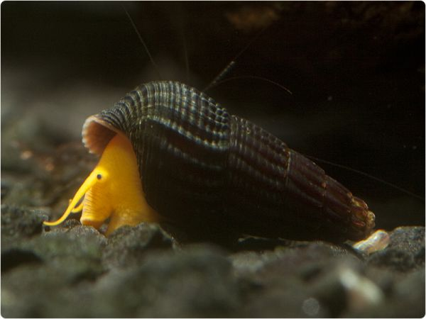 Tylomelania scalariopas 'Orange' - Nachzucht