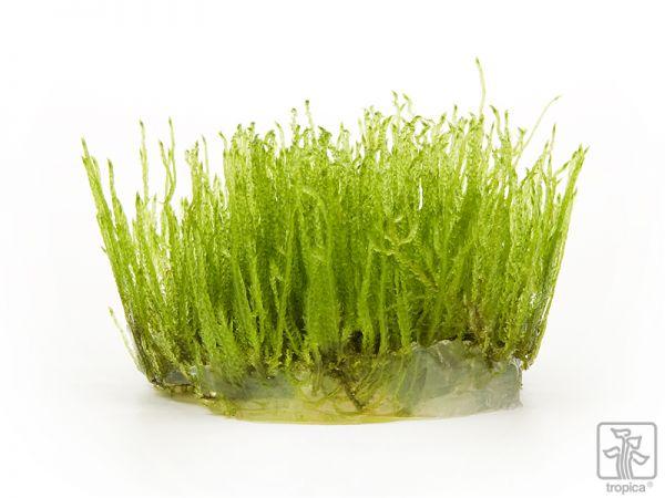 Taxiphyllum Spiky 1-2-Grow!