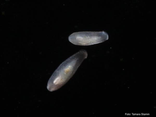 Scheibenwürmer - Macrostomum sp., Ordnung: Rhabdocoela