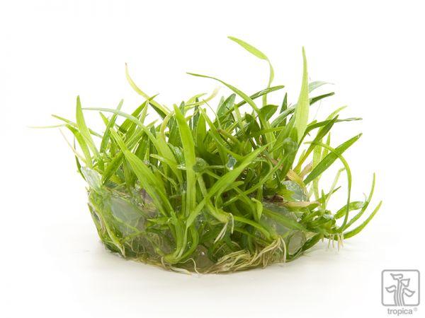 Echinodorus tenellus Green 1-2-Grow!