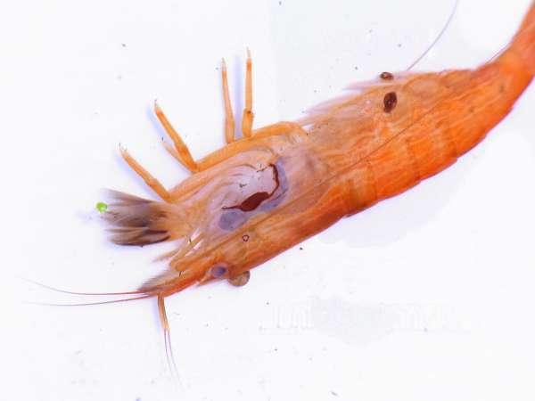Verfärbung bei toten Garnelen, Krabben und Krebsen
