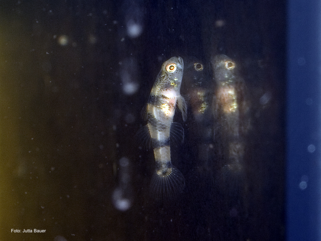 Brachygobius nunus