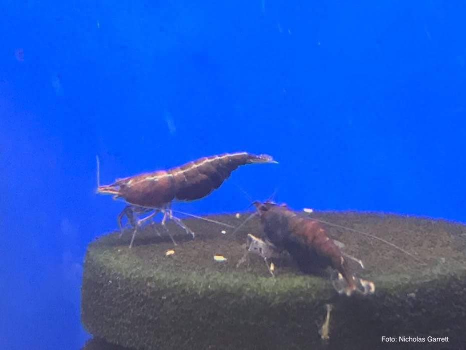 Neocaridina davidi - Red Onyx