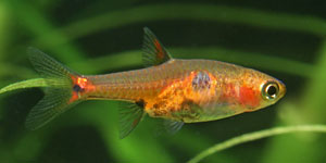 Was ist Aquascaping - Die Fische / Borara