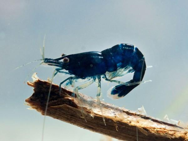 Neocaridina davidi var. Blue Sapphire - Neocaridina davidi var. Blue Sapphire