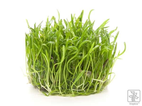 Brasilianische Graspflanze, Neuseelandgras - Lilaeopsis brasiliensis