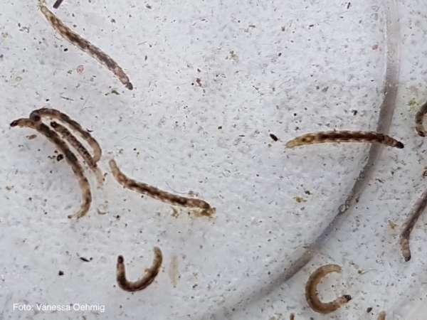 Zuckmückenlarve - Chironomidae
