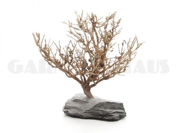 Nano-Baum Bonsai M, Moosbaum