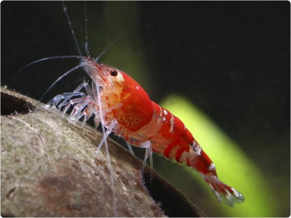 Crystal Red / Red Bee Zwerggarnele