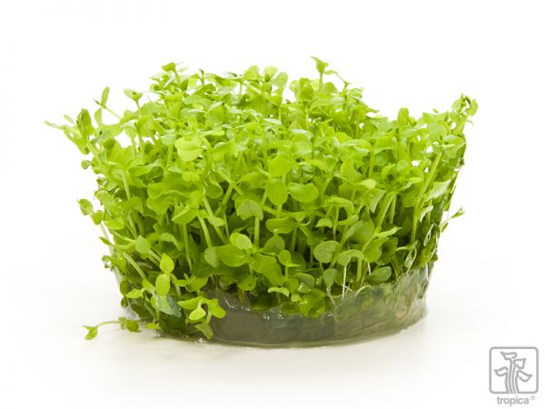 Micranthemum Monte Carlo 1-2-Grow!
