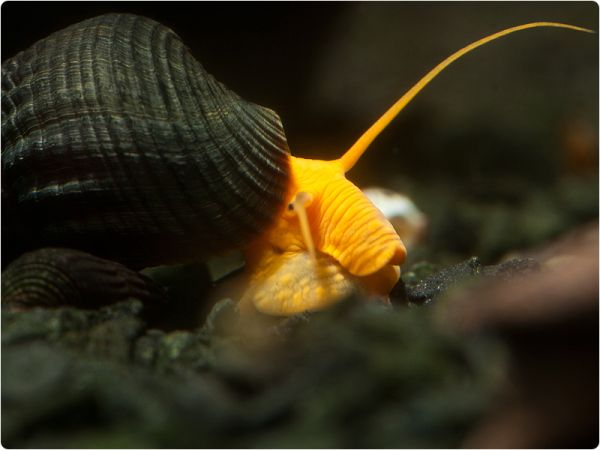 Tylomelania Rocksnail 'Orange'