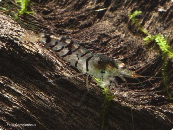 Tigergarnele OE - Caridina mariae