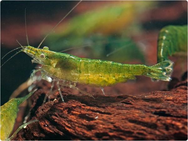 Neocaridina davidi var. Green Jade - Neocaridina davidi