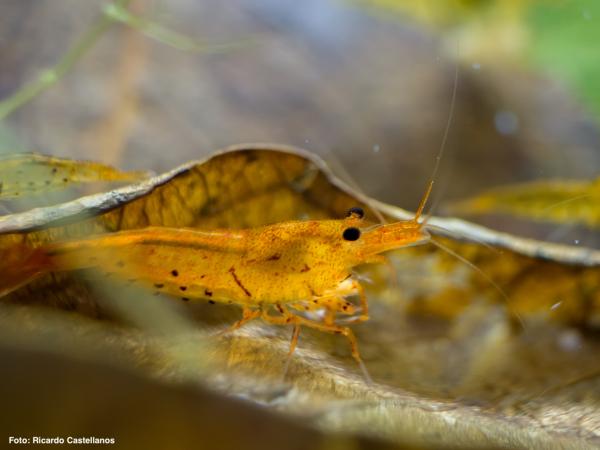 Geeignetes Laub für Garnelen, Krebse, Schnecken und Krabben im Aquarium