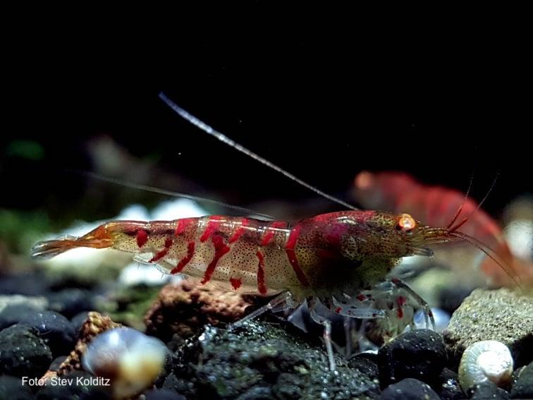 Caridina mariae - Rote Tigergarnele OE