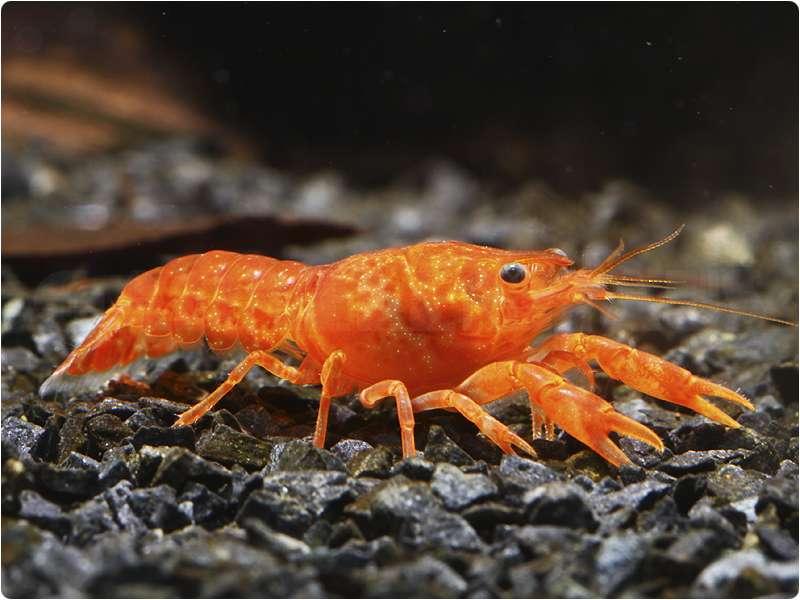 Cambarellus patzcuarensis Orange CPO