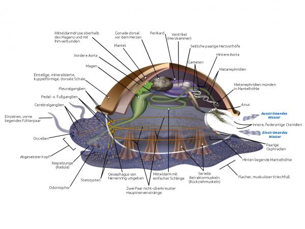 Die Anatomie von Wasserschnecken