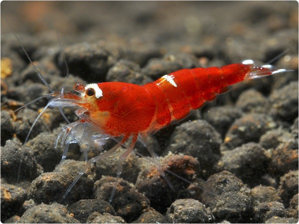 Super Crystal Red (SCR) - Caridina logemanni