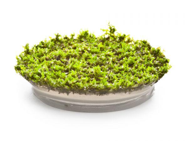 ADA - Riccardia chamedryfolia (Korallenmoos) - inVitro Aquariummoos / Wasserpflanzen