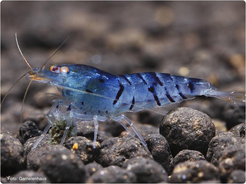 Caridina mariae - Blaue Tigergarnele OE
