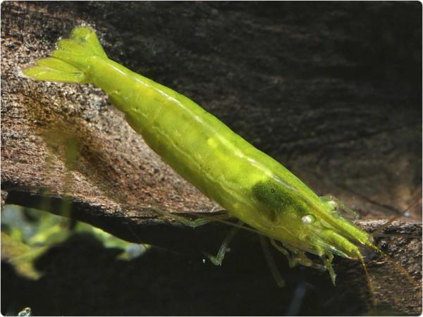 Giftgrüne Zwerggarnele - Caridina cf. babaulti