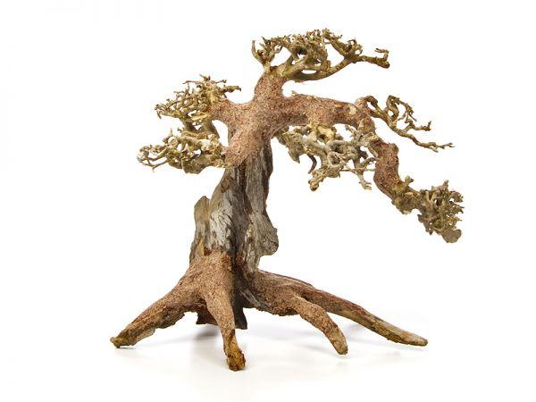 Drachenbaum S