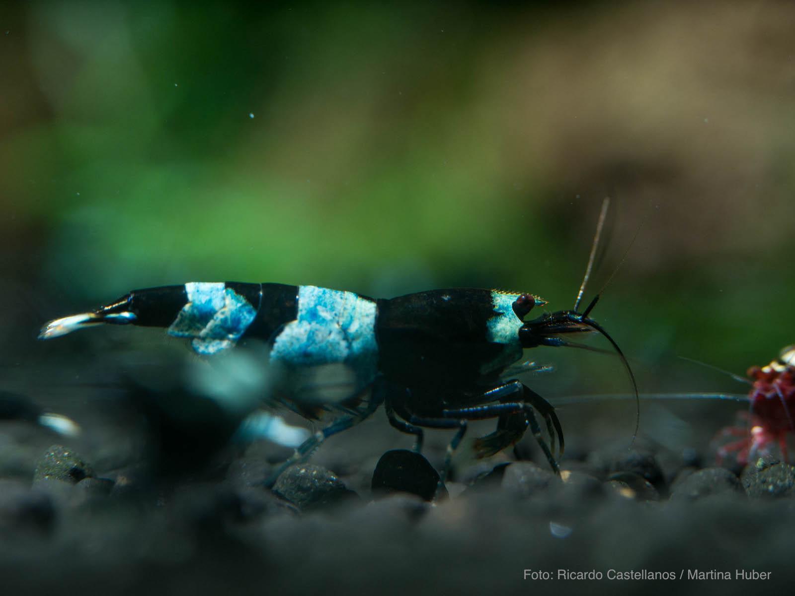 Caridina sp. - Blue Panda