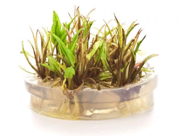 "ADA - Cryptocoryne wendtii ""Green Gecko"" - inVitro Aquariumpflanzen / Wasserpflanzen"