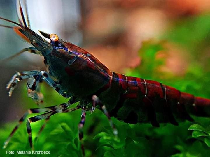 Caridina mariae - Rusty Tiger OE