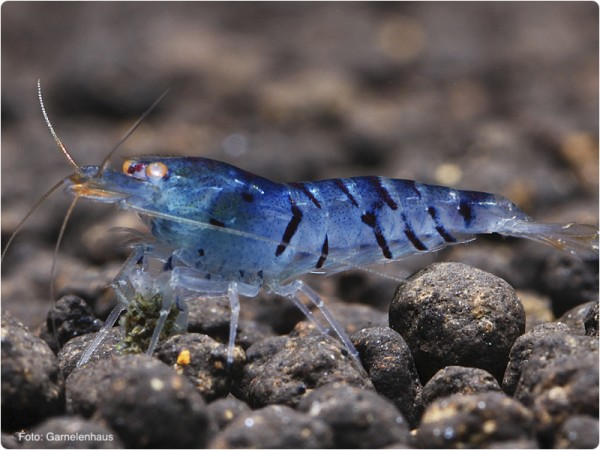 Blaue Tigergarnele OE - Caridina mariae