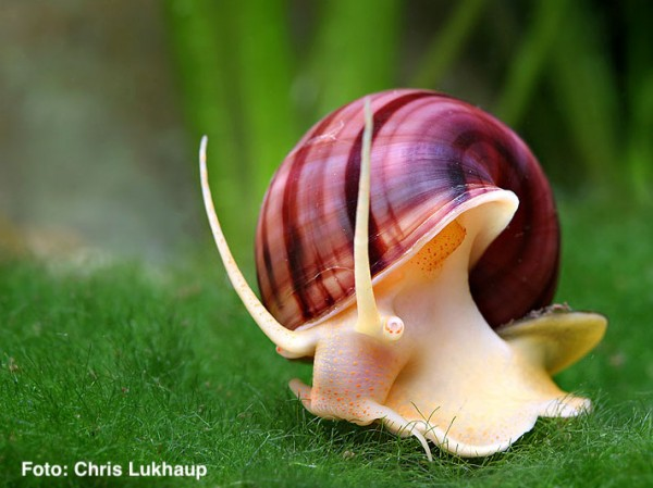 Verbot der Gattung Pomacea in der EU