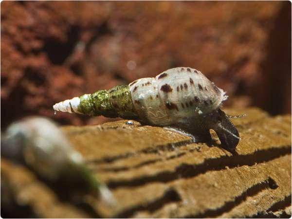 Malaiische Turmdeckelschnecke - Melanoides tuberculata