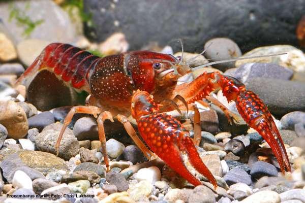Louisiana-Sumpfkrebs - Procambarus clarkii