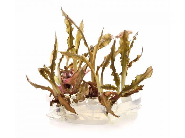 ADA - Cryptocoryne crispatula var. balansae - inVitro Aquariumpflanzen / Wasserpflanzen