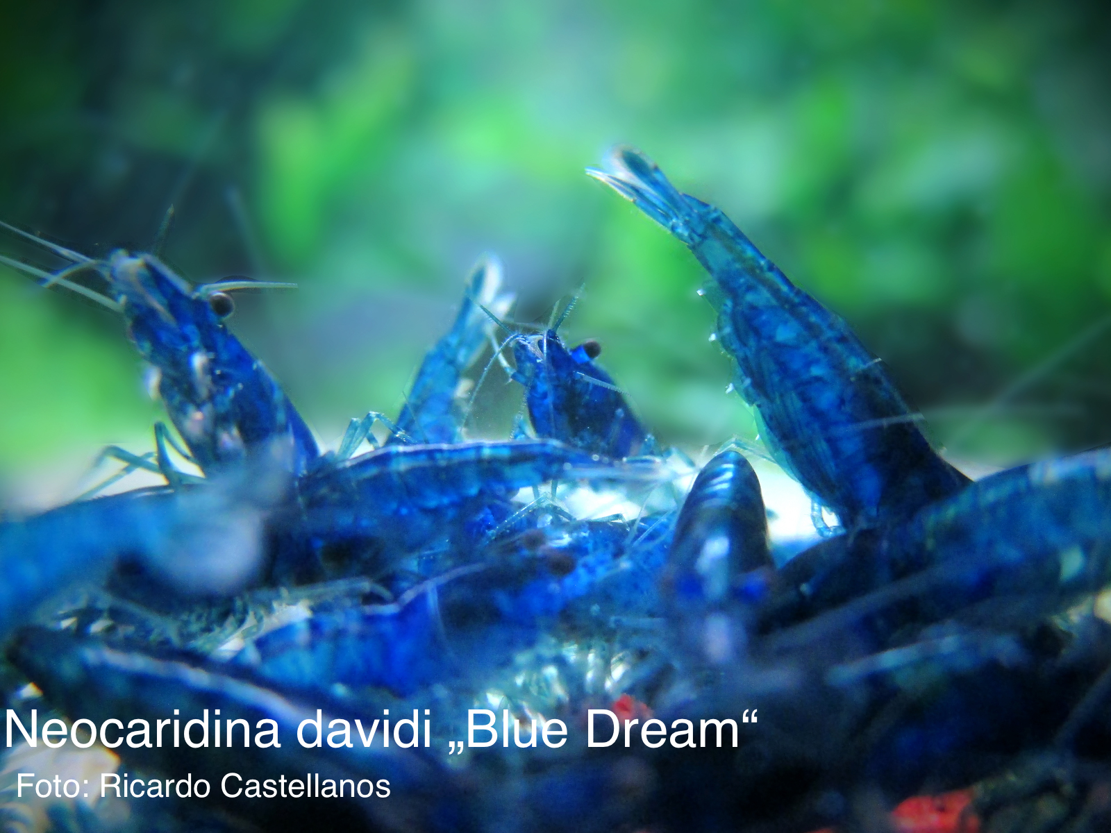 Blue_dream_neocaridina_davidi Frais De Jbl Aquarium Conception