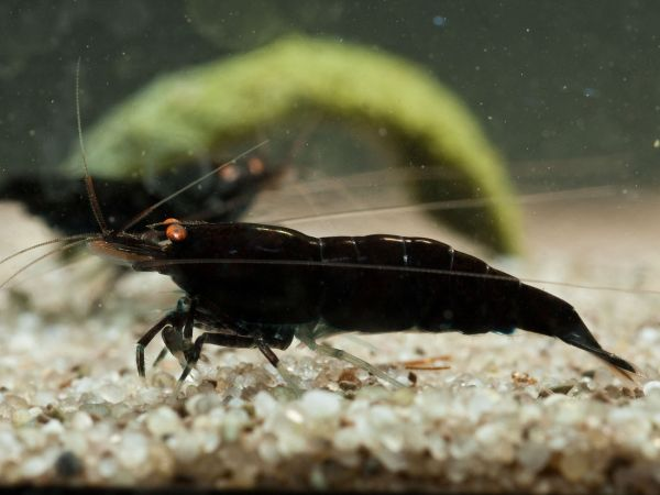 Schwarze Tigergarnele / Black Tiger Shrimp Orange eye BT1 Caridina mariae
