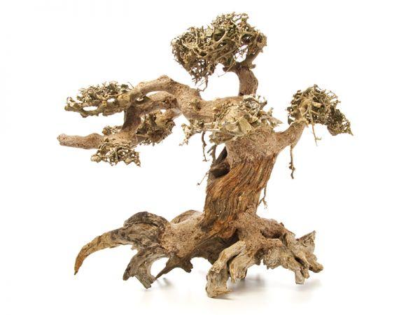 Drachenbaum L
