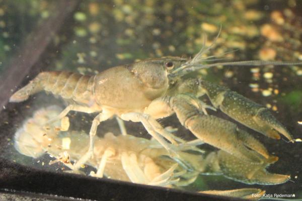 Vasquez-Zwergkrebs - Procambarus vasquezae