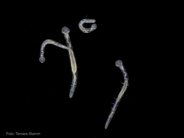 Öltröpfchenwürmer - Aelosoma sp.