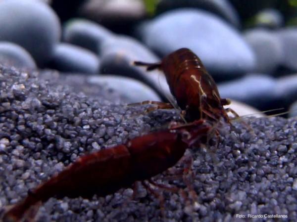 Neocaridina davidi var. Red Onyx - Neocaridina davidi