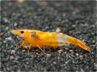 Neocaridina davidi - Orange Rili