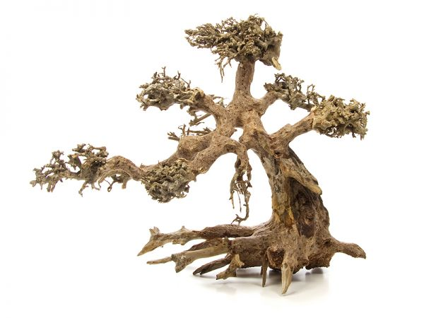 Drachenbaum M