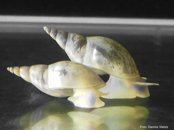 Spitzschlammschnecke, Große Schlammschnecke, Spitzhornschnecke - Lymnaea stagnalis